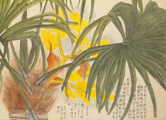 梅園草木花譜_シュロ02.jpg
